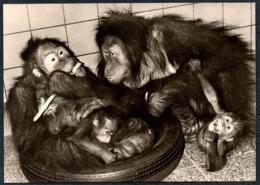 C7708 - Dresden Zoologischer Garten Zoo Tierpark - Orang Utan Uschi Und Emmi Affe  - Bild Und Heimat Reichenbach - Scimmie