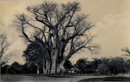 SUDAFRICA , TARJETA POSTAL NO CIRCULADA , CREAM OF TARTAR TREE , VICTORIA FALLS - Sudáfrica