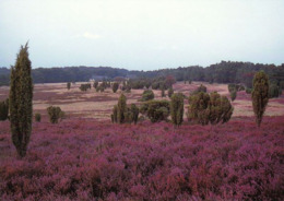 1 AK Germany / Niedersachsen * Ein Sommerabend Im Naturschutzgebiet Lüneburger Heide * - Lüneburger Heide