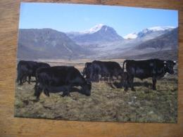 Répresentation Du Timbre, Cattle In South Greenland Bétail Au Sud Du Groenland - Groenland