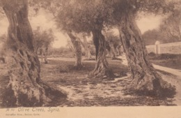 DAMAS , Syria , 00-10s ; Olive Trees - Siria