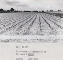 Agriculture - Agronomie - Photographie - Gesté Beaupréau-en-Mauges 49 - Betteraves - Lot De 3 Photos - Landbouw