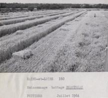 Agriculture - Photographie - Beaupréau 49 - Moissonnage Battage - Lot De 2 Photos - Landbouw
