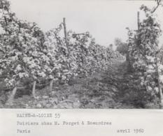 Agriculture - Photographie - Soeurdres 49 - Arboriculture Poiriers - Ferme Exploitation M. Forget - 2 Photos - Landbouw
