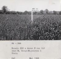 Agriculture - Photographie - Uzein 64 - Agronomie - Champ Blé - Exploitation Ferme M. Berge-Majoureau - 1 Photo - Landbouw