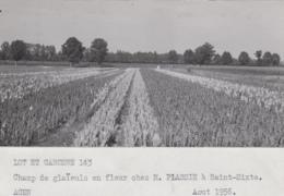 Agriculture - Photographie - Saint-Sixte 82 - Fleurs Glaïeuls - Exploitation M. Plassie - 1 Photo - Landbouw