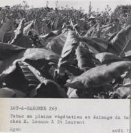 Agriculture - Photographie - Saint-Laurent 82 - Champ Tabac - Exploitation M. Lozano - 1 Photo - Landbouw