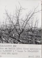 Agriculture - Photographie - Saint-Laurent 82 - Verger Arbres Pêcher - Exploitation M. Bridet à Rance - 1 Photo - Landbouw