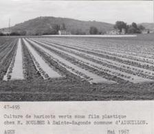 Agriculture - Photographie - Sainte-Radegonde Aiguillon 47 - Exploitation M. Boulbes - Culture Haricots Verts -  Photo - Landbouw