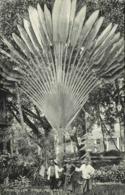 Malay Malaysia, PENANG, Traveller Tree With Native Boys (1910s) Postcard - Malaysia