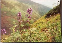 Ak Tschechien - Blumen Aus Dem Riesengebirge - Hoher Rittersporn - Blumen
