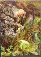 Ak Tschechien - Blumen Aus Dem Riesengebirge - Alpendost - Blumen