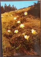 Ak Tschechien - Blumen Aus Dem Riesengebirge - Brocken - Küchenschelle - Blumen
