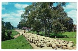 Ref 1331 - Postcard - Flock Of Sheep - Australian Rural Scene - Animal Theme - Australia