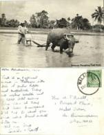 Malay Malaysia, MALACCA, Ploughing Padi Field, Ox Cart (1954) RPPC Postcard - Malaysia