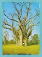 ZIMBABWE RHODESIA THE BIG TREE A BAOBAB NEAR THE VICTORIA FALLS 1968 - Zimbabwe