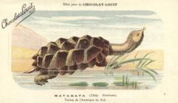 MATAMATA ( Chelye Fimbriata) Tortue De L'Amerique Du Sus Chocolat Louit RV - Turtles
