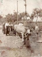 Tirage Photo Albuminé Originale Monde Paysan & Fermiers Conduisant Un Attelage De Boeufs à La Rivière - Rat Bei Uster - Métiers