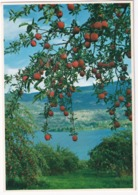 Okanagan Valley - Apple Tree  - (B.C., Canada) - Kelowna