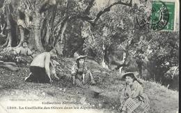 06 - Cueillette Des Olives Dans Les ALPES-MARITIMES +++ Giletta, Nice, - Landbouw
