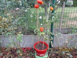 25 Graines De Tomates Marmande Cultivé Bio En Serre Et En Pleine Terre Sans Bouillie Bordelaise - 2. Graines