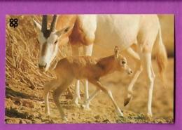 Image Chromo Chocolat COOP Antoine Reille Raconte Animaux WWF N° 9 Oryx Algazelle - Cioccolato