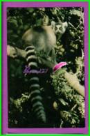 Image Chromo Chocolat COOP Antoine Reille Raconte Animaux WWF N° 57 Maki Gatta  Singe - Schokolade