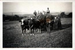 Photo Originale Monde Paysan & Cultivateurs Pendant La Moisson - Attelage Tiré Par Ses Vaches & Gamins Vers 1930/40 - Métiers