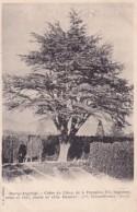 BOURG ARGENTAL            CEDRE DU LIBAN         PRECURSEUR - Bourg Argental