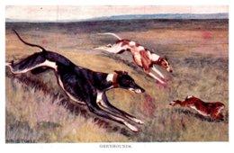 Dog  , Greyhounds Chasing Wild Rabbitt - Dogs