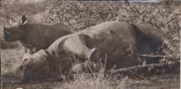 RHINO NEUSHOORN Rhinocéros  Rinoceronte  Nashorn  Rhinocé ANIMAUX ANIMALS ANIMALES 19*10CM Fonds Victor FORBIN 1864-1947 - Africa