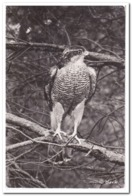 Havik - Vogels