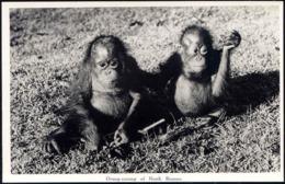 British North Borneo, SABAH, Urang-Outang, ORANG UTANG (1950s) Real Photo - Malaysia