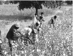 """Photo Haute Volta (Burkina)1980. Centre D'Animation Rurale"""" De Tionkuy. Récolte Du Coton. Photo Du Père Gust Beeckmans - Africa"""