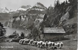 MORSCHACH → Weidende Schafe Hoch über Dem Urnersee, Ca.1930 - SZ Schwyz