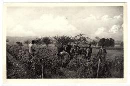 POUIILY SUR LOIRE (58) - AGRICULTURE - VITICULTURE - Scènes De Vendanges - Ed. Grandsire, Tabacs, Pouilly Sur Loire - Landbouw