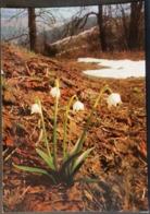 Ak Tschechien - Blumen Aus Dem Riesengebirge - Frühlings - Knotenblume - Blumen