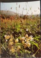 Ak Tschechien - Blumen Aus Dem Riesengebirge - Gemeines Leimkraut - Blumen