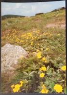 Ak Tschechien - Blumen Aus Dem Riesengebirge - Gold - Fingerkraut - Blumen