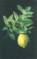 CITRON (fleur, Feuille, Fruit) (ref 6016) - Landbouw