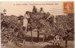 Cote D' Azur - Cueillette De La Fleur D' Oranger  (116359) - Landbouw
