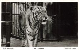 R212945 At The Bristol Zoo. 94. Tigress. R. H. Bond. RP. British Manufacture - Postcards
