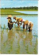 Rice Planting In Penang Malaysia. Sent To Denmark. B-305 - Landbouw
