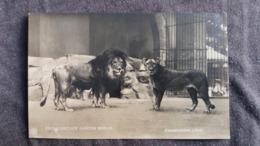 CPA LION LIONS ZOO BERLIN ZOOLOGISCHER GARTEN ABESSINISCHER LOWE - Lions