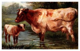 Shorthorn Cow And Calf - Vaches