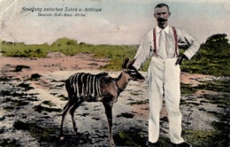 DEUTSCH-SÜD-WEST-AFRIKA / GERMAN SOUTH WEST AFRICA : KREUZUNG ZWISCHEN ZEBRA U. ANTILOPE ~ 1910 (ac885) - Namibie