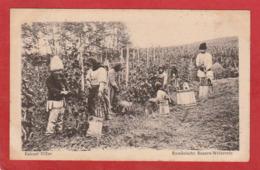 CPA: Roumanie - Culesul Viilor - Rumanische Bauern Weinernte - Roumanie