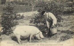 LA RECOLTE DE LA TRUFFE  Groupe Sympathique Cavant La Truffe RV - Champignons