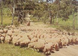 Postcard Greetings From Iron Knob South Australia Sheep Station / Farming Interest [ Nr Port Augusta ] My Ref  B23743 - Other