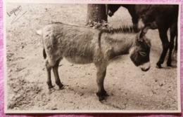 Litle Donkey On Island Arbe Isola RPPC  Rab Croatia Carnaro RR - Otros